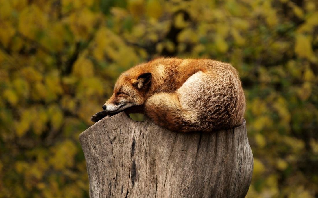 fox-1284512_1280