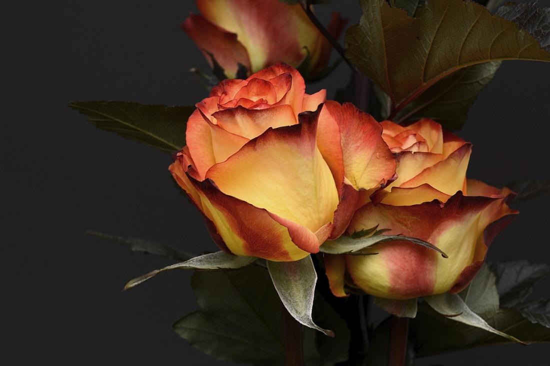 rose-3063284_1280.jpg